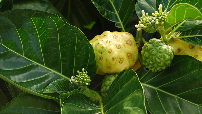 Noni<br />Nature's soothing touch